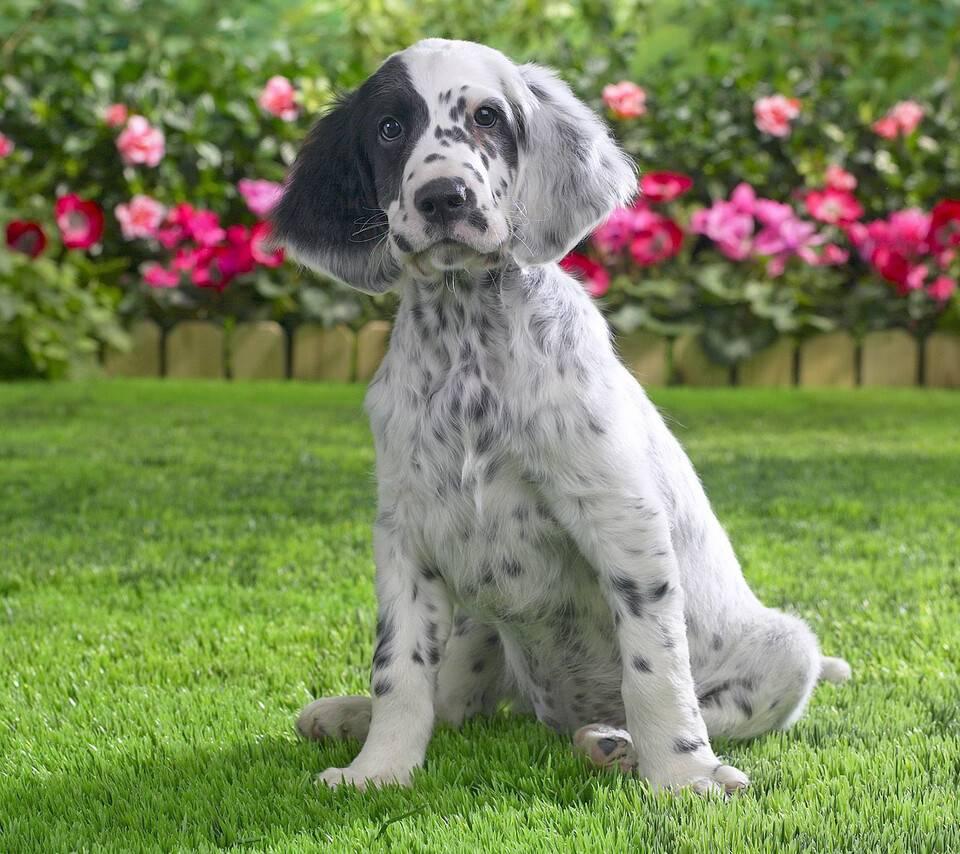Собака английский сеттер: описание и стандарты породы, характер и дрессировка, содержание и кормление
