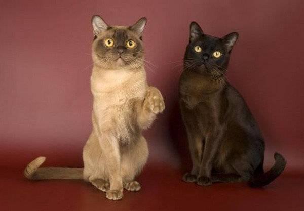 Характер бурманской кошки