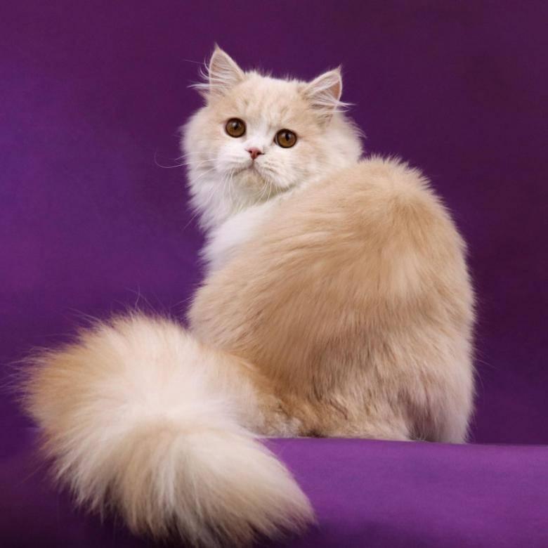 Все о шотландской вислоухой длинношерстной породе кошек хайленд фолд