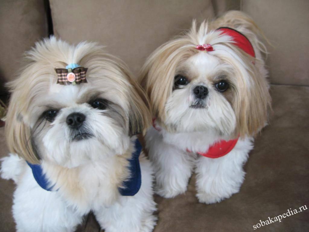 Порода ши-тцу: описание и характеристика, особенности содержания и ухода за собакой, отзывы владельцев