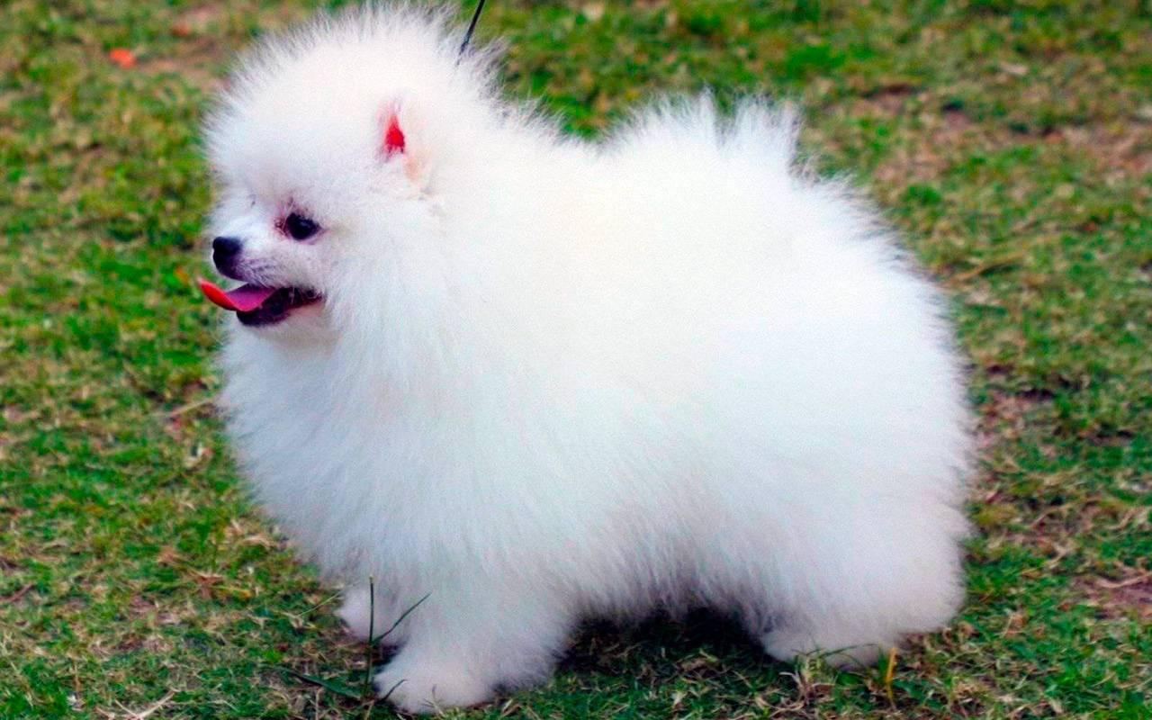Белый карликовый шпиц: описание породы померанцев, характеристики окраса