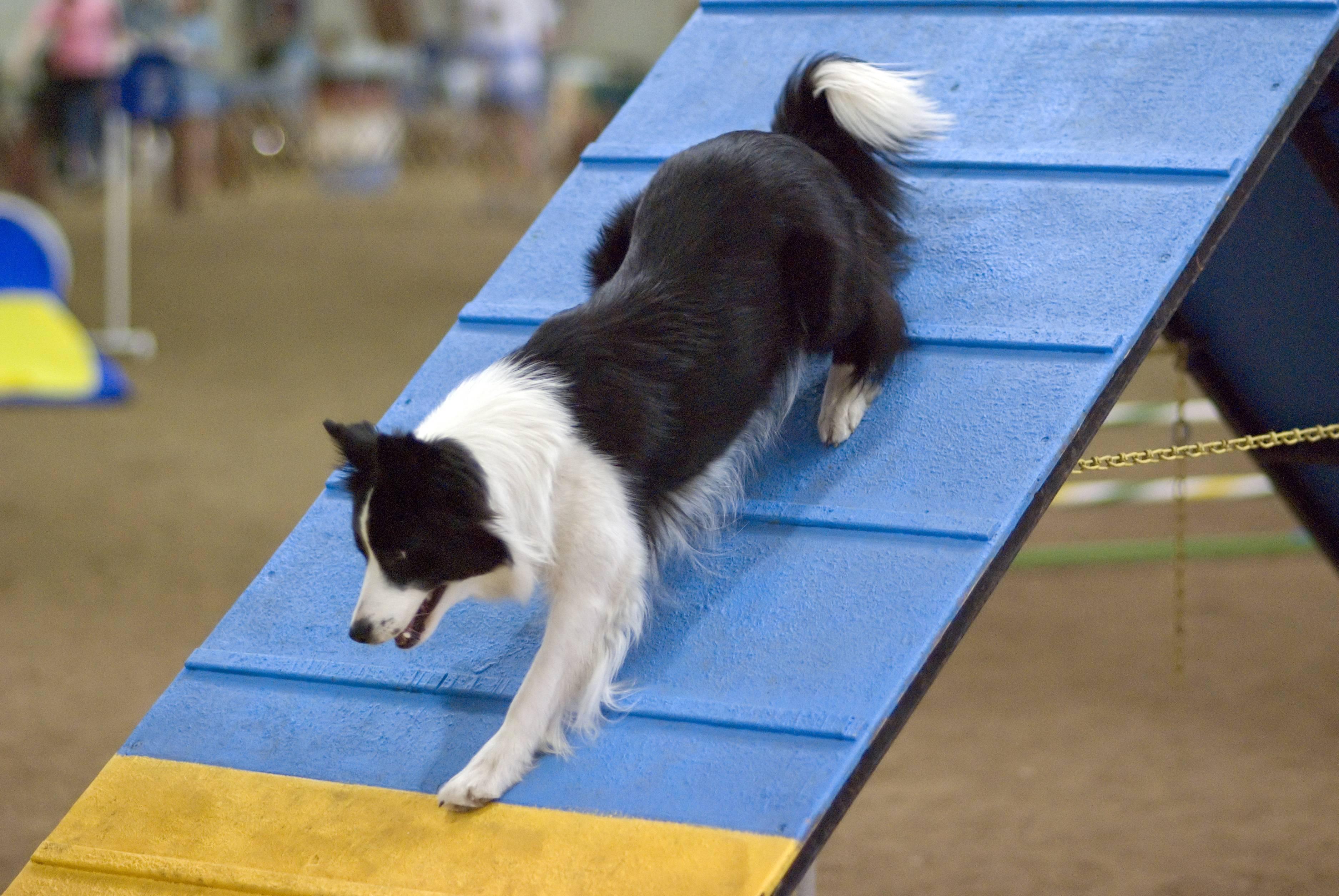 Аджилити для собак — правила, подходящие породы для спорта