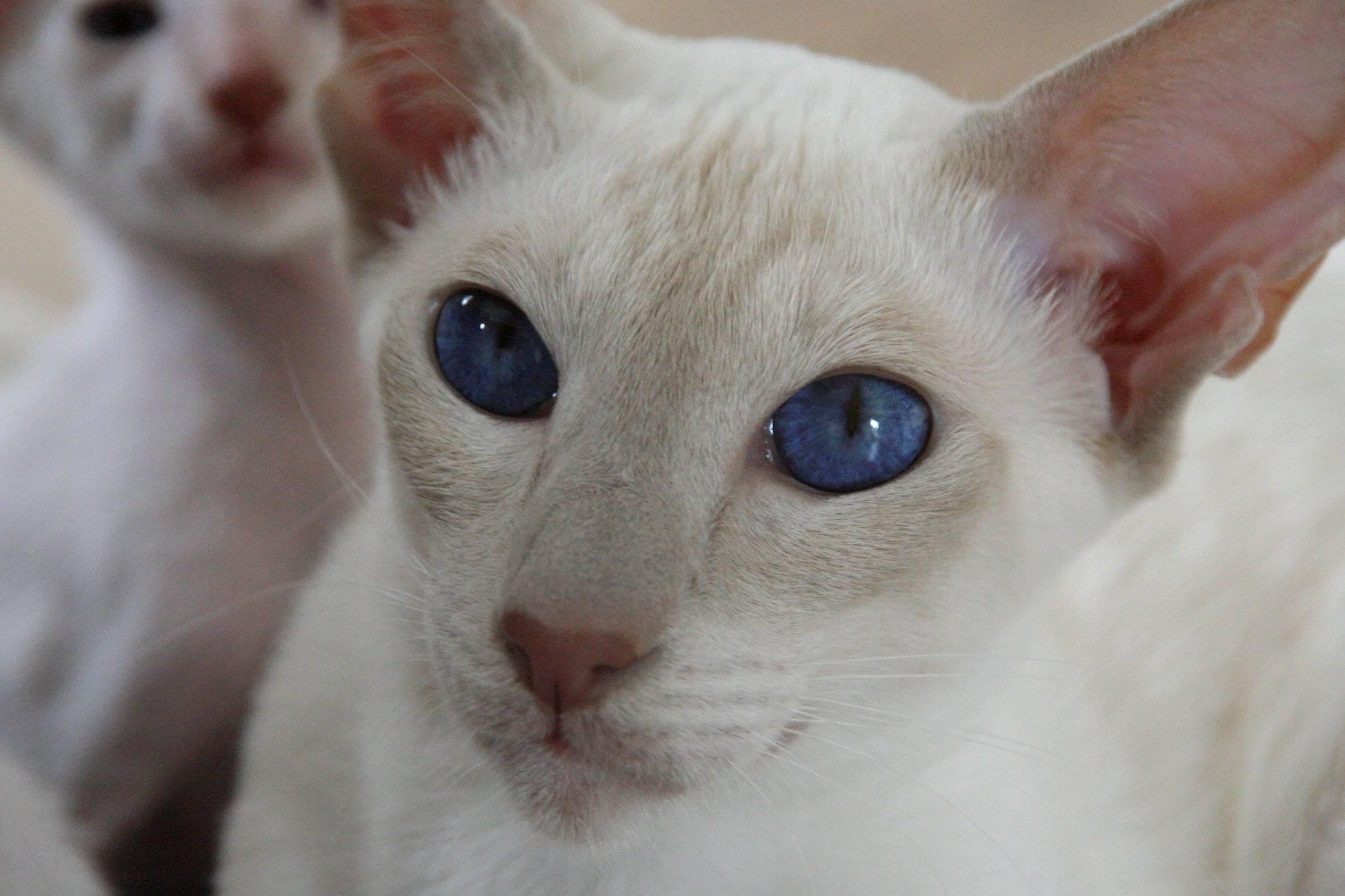 Почему белые кошки бывают глухими, и как тогда их правильно воспитывать