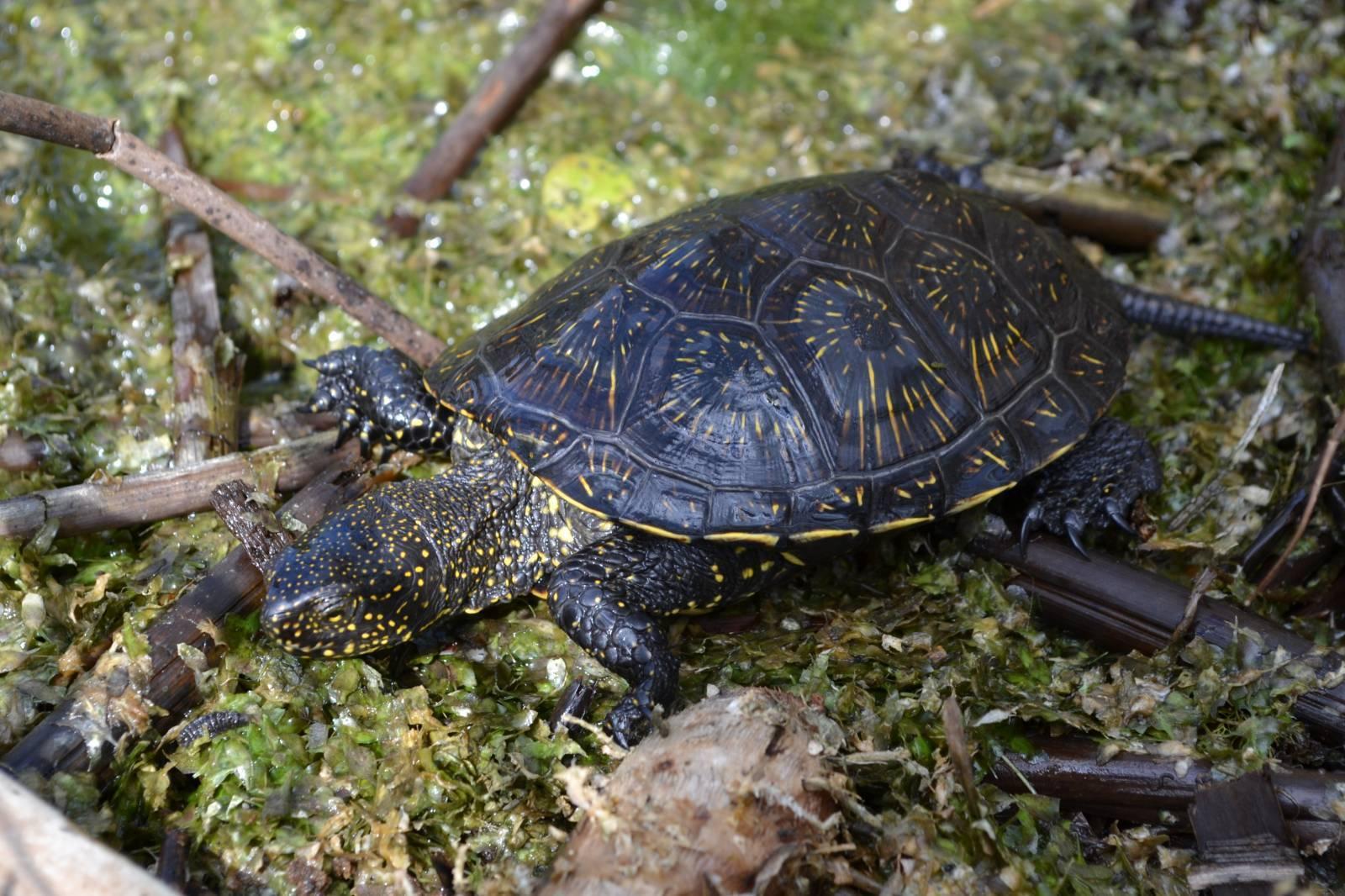 Водная черепаха - виды, описание, пища и места обитания (120 фото + видео)