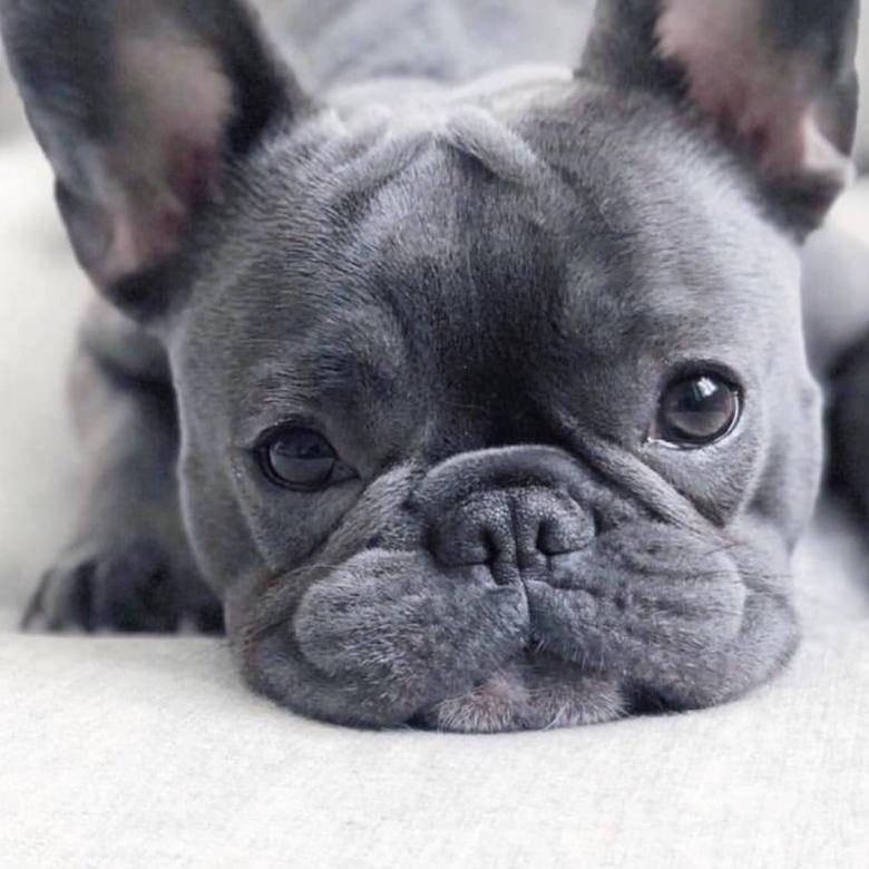 Имя для собаки французский бульдог мальчик. какие клички выбрать для французских бульдогов мальчиков и девочек