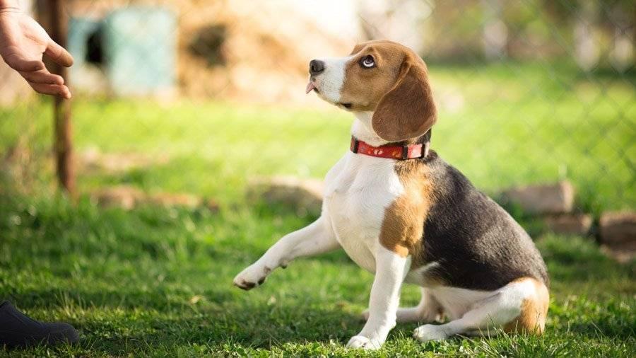 Дрессировка щенка – правила воспитания, советы и рекомендации