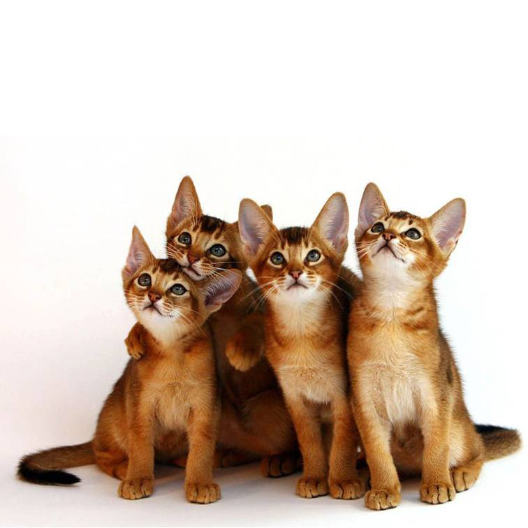 Рейтинг умных пород кошек