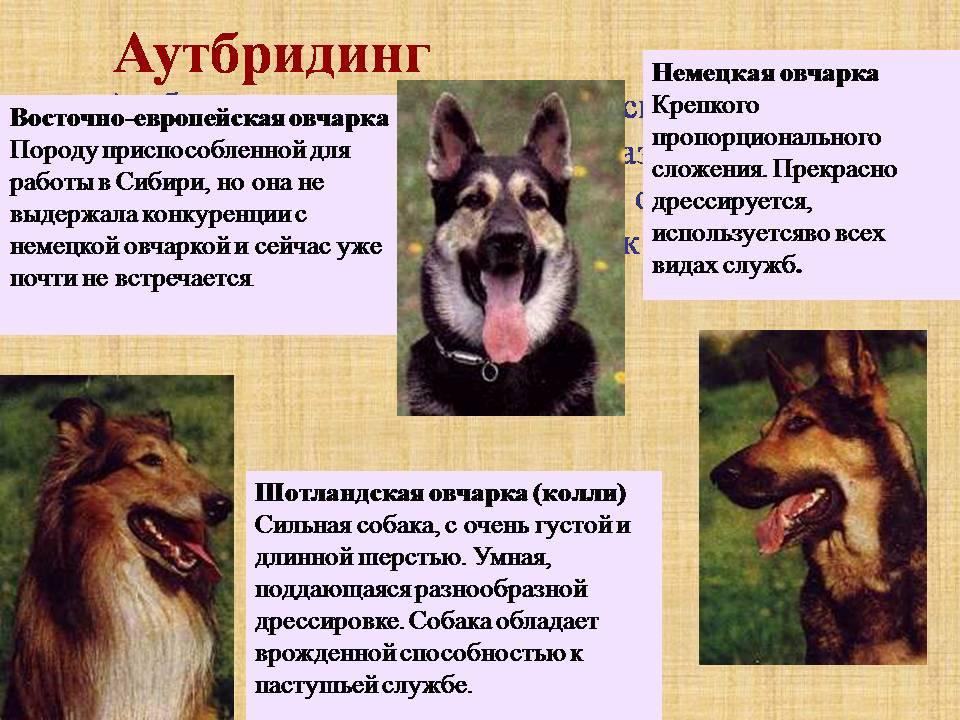 Какие служебные собаки существуют? породы и их особенности