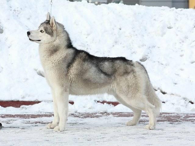 Якутская лайка - описание породы и характер собаки