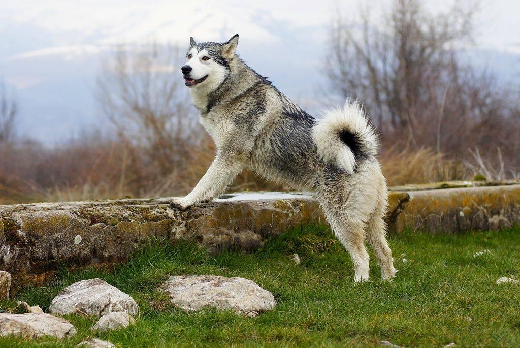 Аляскинский маламут: описание характеристики породы и отличия