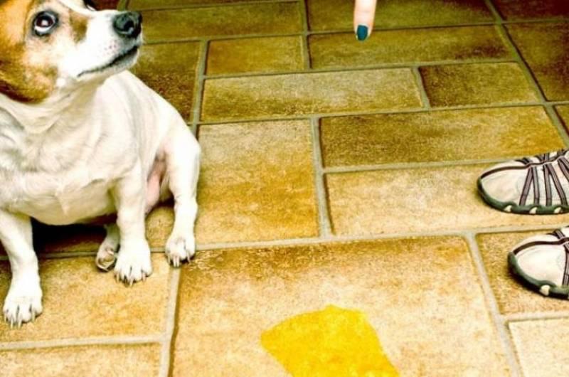 «тыкать щенка носом в его лужи — самый вредный совет»: интервью со специалистами по поведению собак | новости