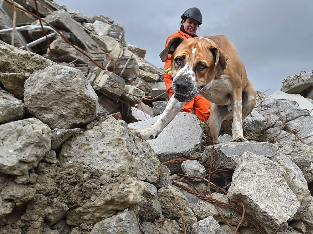 Собака спасатель. породы собак спасателей их описание, особенности и обучение | животный мир