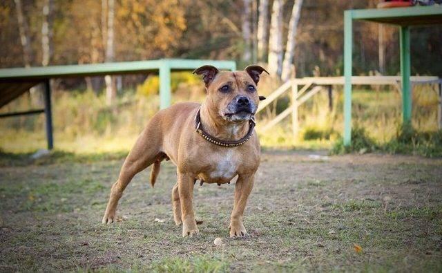 Собака бультерьер - описание, происхождение, характер