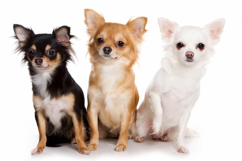 Чихуахуа: взрослые собаки и их стандарт, фото, белый, черный, рыжий, шоколадный, голубой, лиловый и кремовый окрасы, размеры породы, характеристика щенков