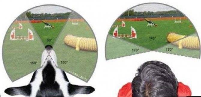 Какое зрение у собак ≪ scisne?