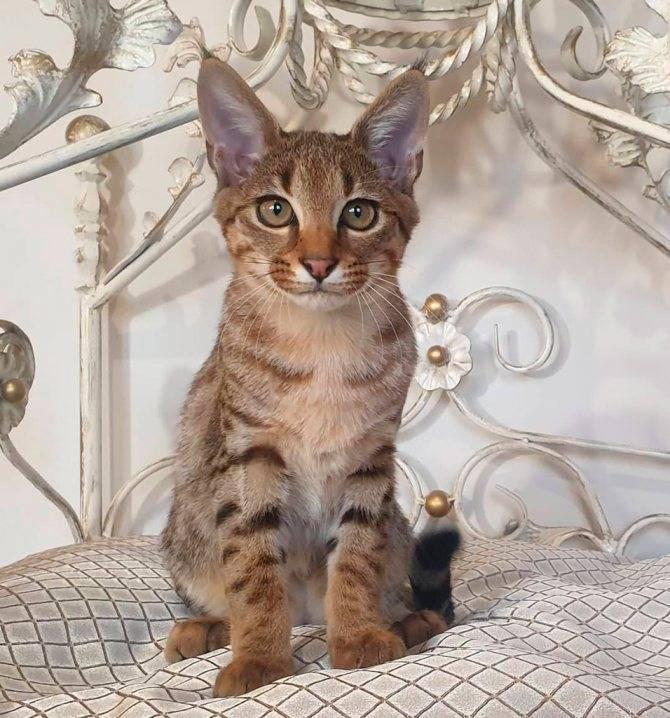 Кошка каракет: описание породы и особенности характера