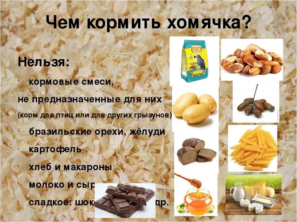 Чем кормить хомяка - что можно и нельзя давать хомяку