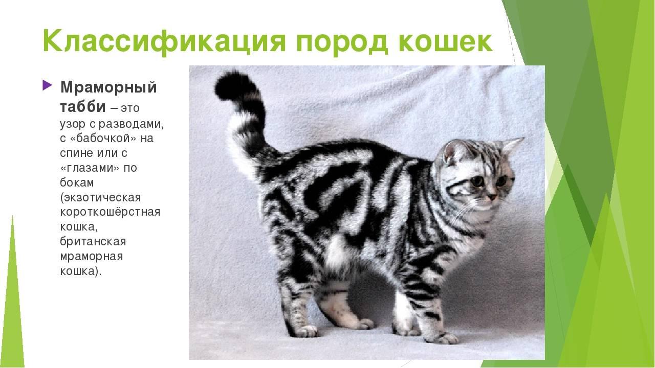 26 пород кошек на грани исчезновения - zefirka