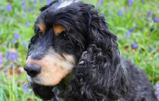 Русский охотничий спаниель: описание, фото, характер, содержание и уход за породой собак