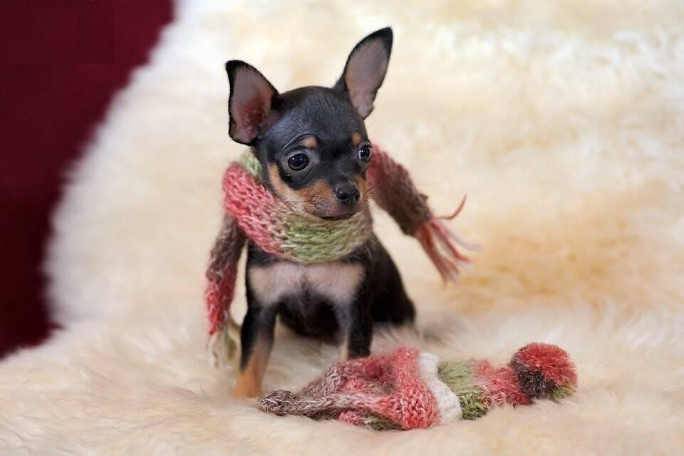 Той-терьер щенки: как выглядят на фото новорожденные и в 1,2,3 и в 4 месяца, а также как дрессировать и ухаживать за питомцем