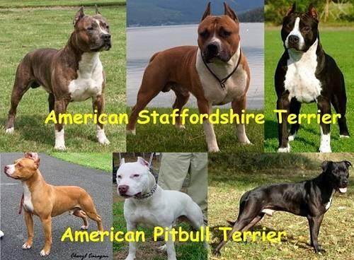 Стаффордширский бультерьер ? фото, описание, характер, факты, плюсы, минусы собаки ✔