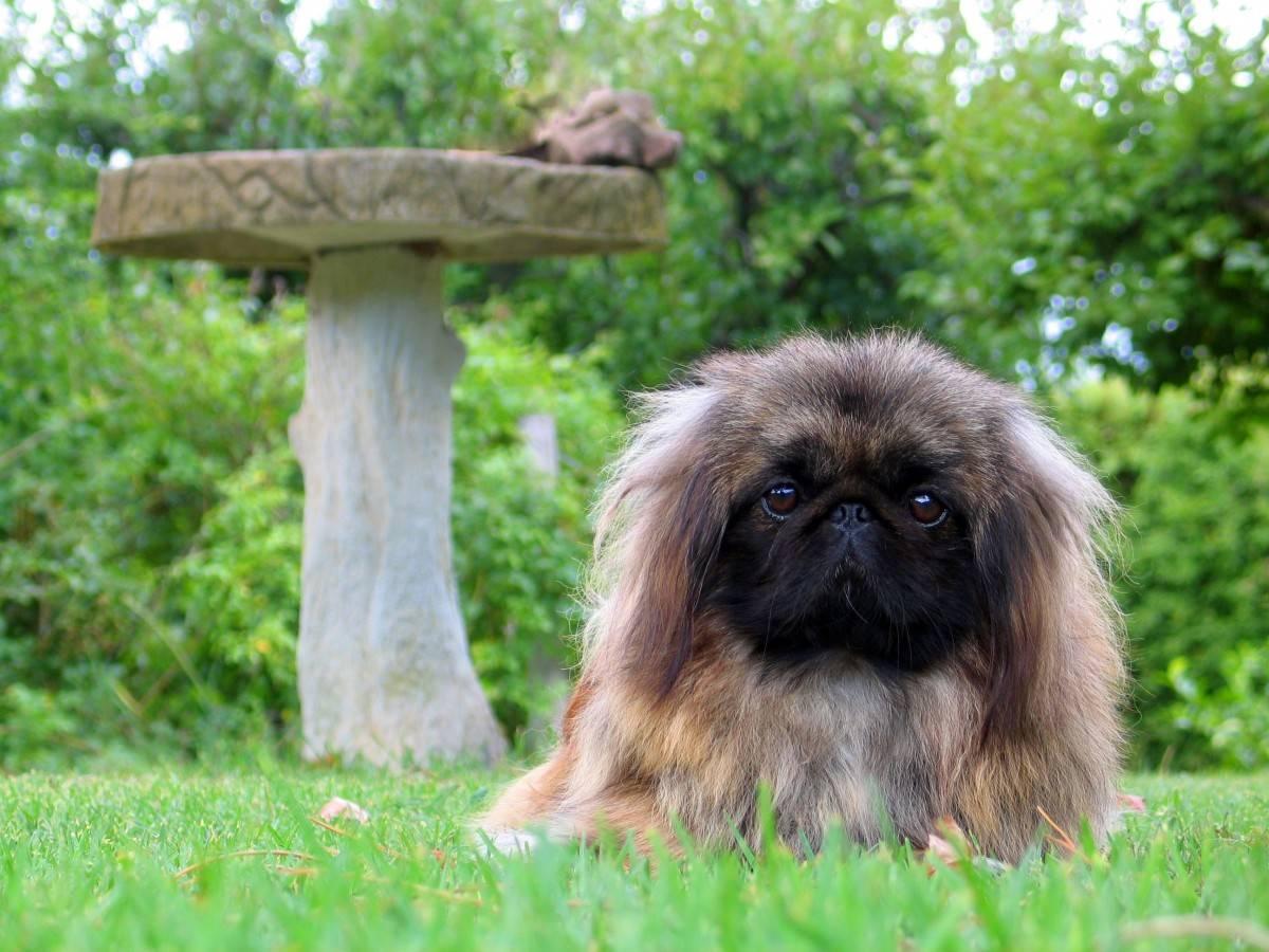 Тибетский спаниель — маленькая собака с огромным сердцем. тибетский спаниель: описание породы и содержание