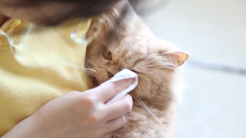 Почему у кошки или кота гноятся глаза?