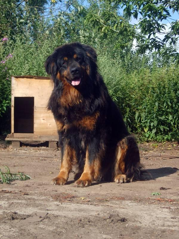Банхар – монгольская овчарка: характеристика породы
