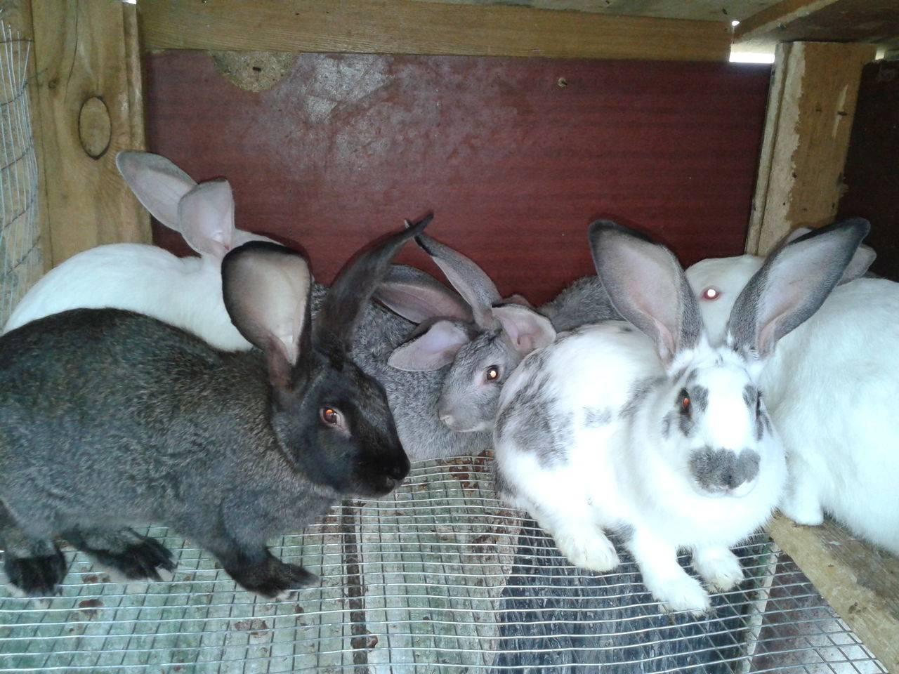 Кролики на мясо породы: бройлерные и мясные, основы разведения и содержания