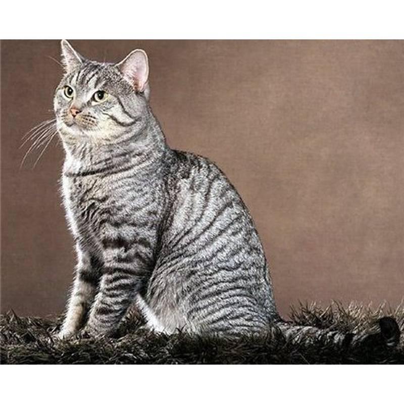 Азиатская (золотистая) дымчатая кошка кошка: подробное описание, фото, купить, видео, цена, содержание дома