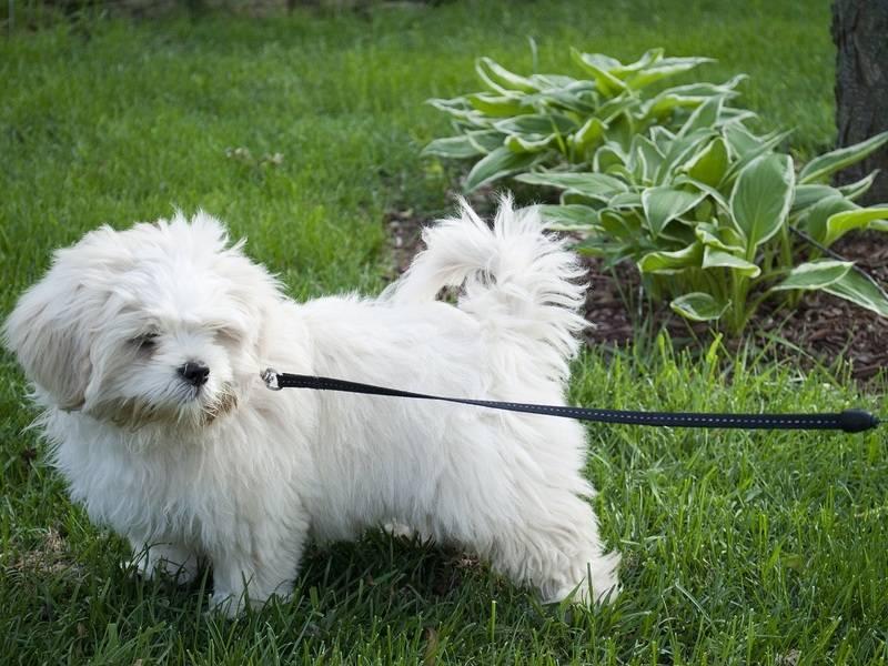 Шесть пород собак с густой и длинной шерстью, которые сильно линяют