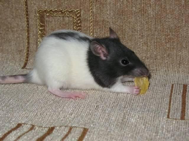 Декоративные мыши: уход и содержание в домашних условиях