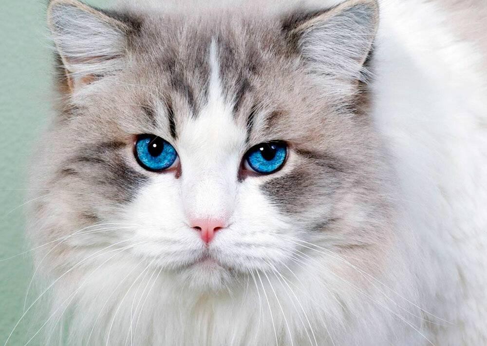 Почему белые коты глухие и как определить степень потери слуха?