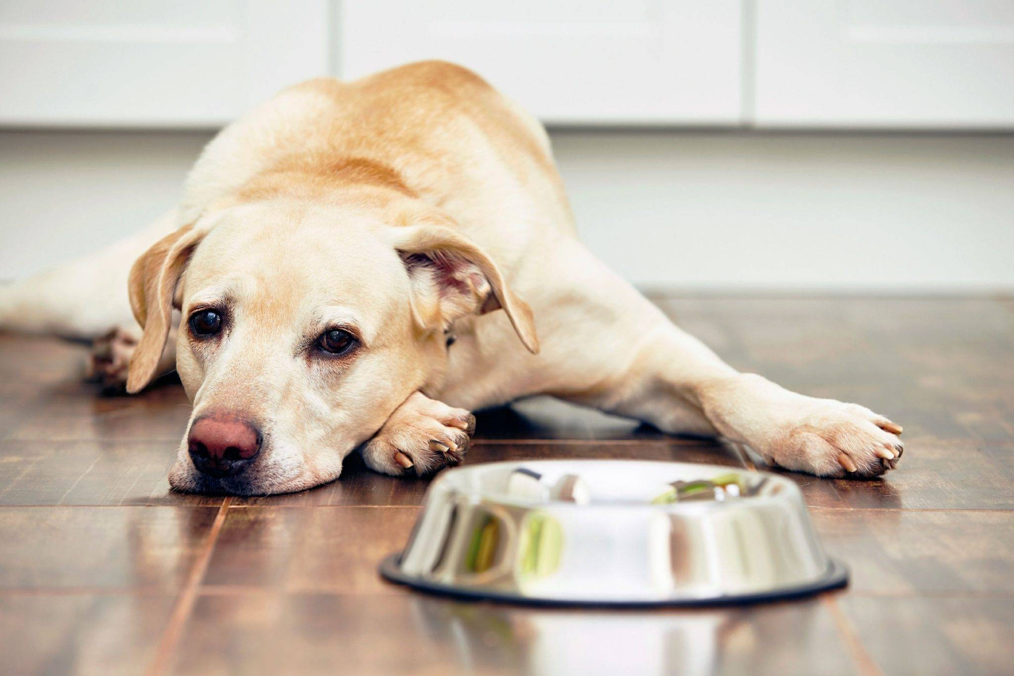 Почему собака не пьет воду? но ест или собака не пьет и не ест