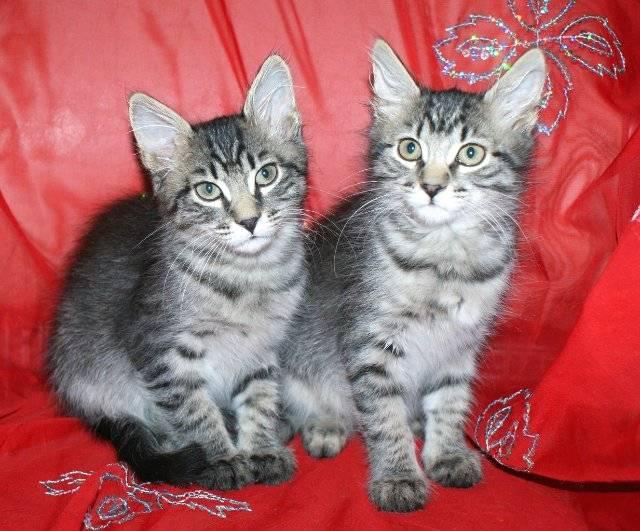 Сравнение мейн-кунов с обычными кошками