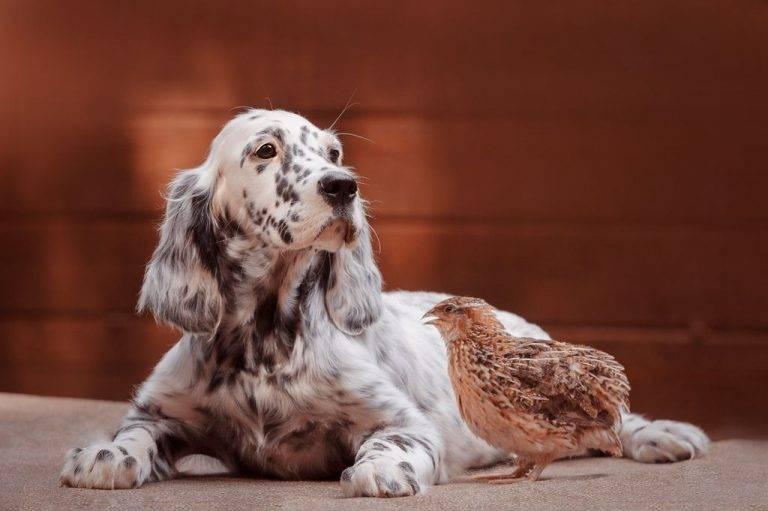 Описание породы собак английский сеттер (лаверак) с отзывами владельцев и фото