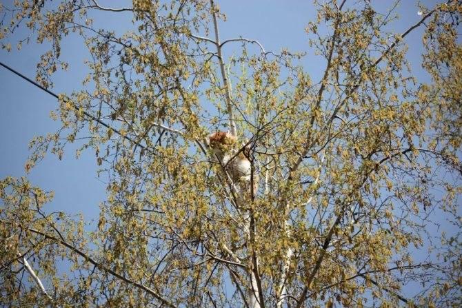 Как снять кошку с дерева: советы что делать как снять кошку с дерева: советы что делать