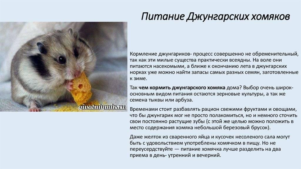 Что можно есть джунгарским хомякам: таблица питания, список что можно, а что нельзя
