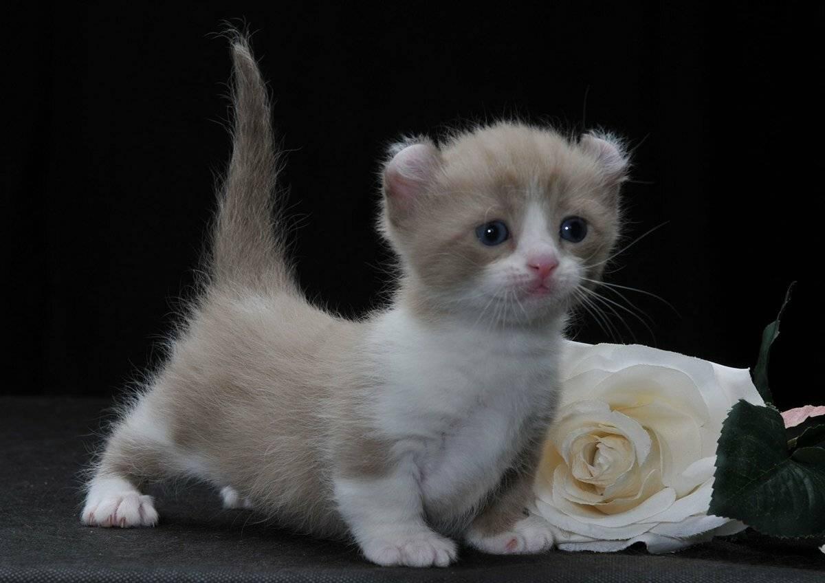 Маленькие породы кошек: список с фотографиями и названиями   сайт «мурло»