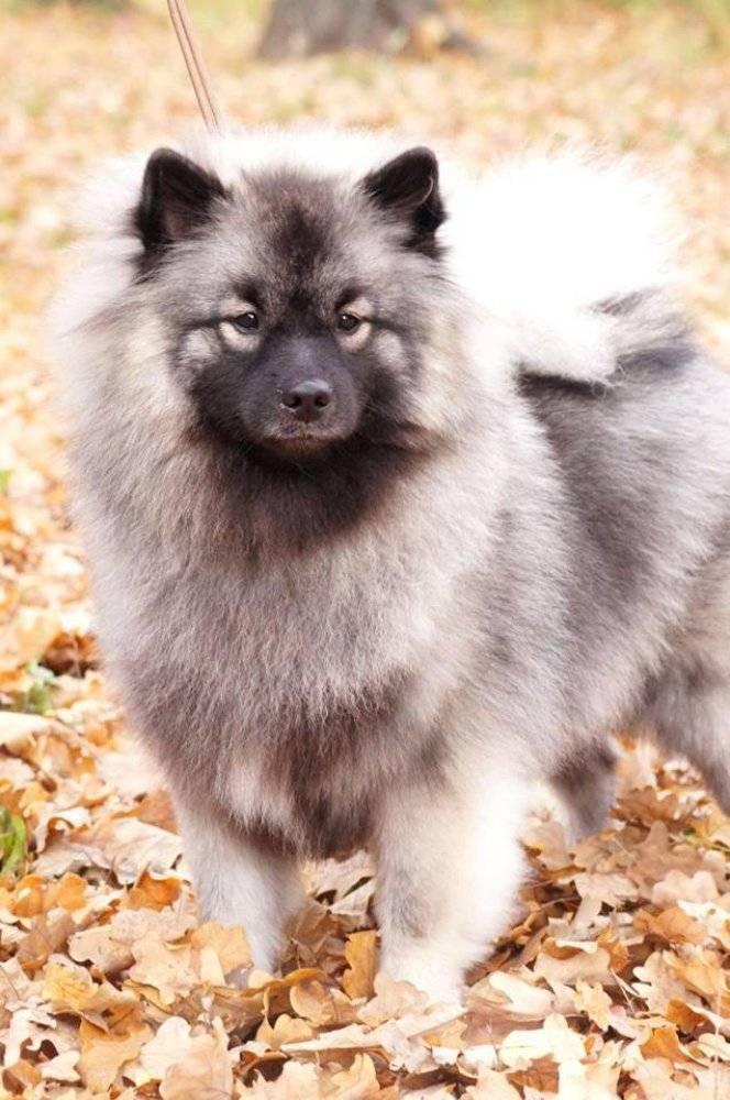 Волчий шпиц (вольфшпиц) или кеесхонд: описание породы собак и характеристика