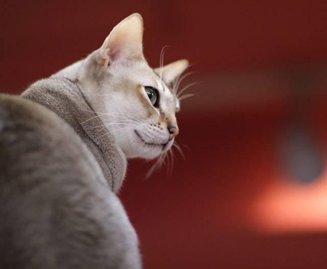 Стандарт сингапурской породы кошек. (singapura)