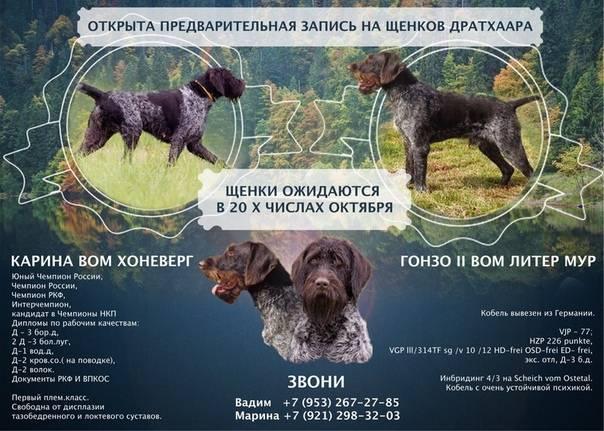 Дратхаар — описание породы и характер собаки