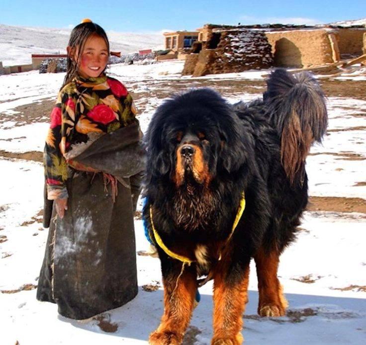 Характеристика породы тибетский мастиф