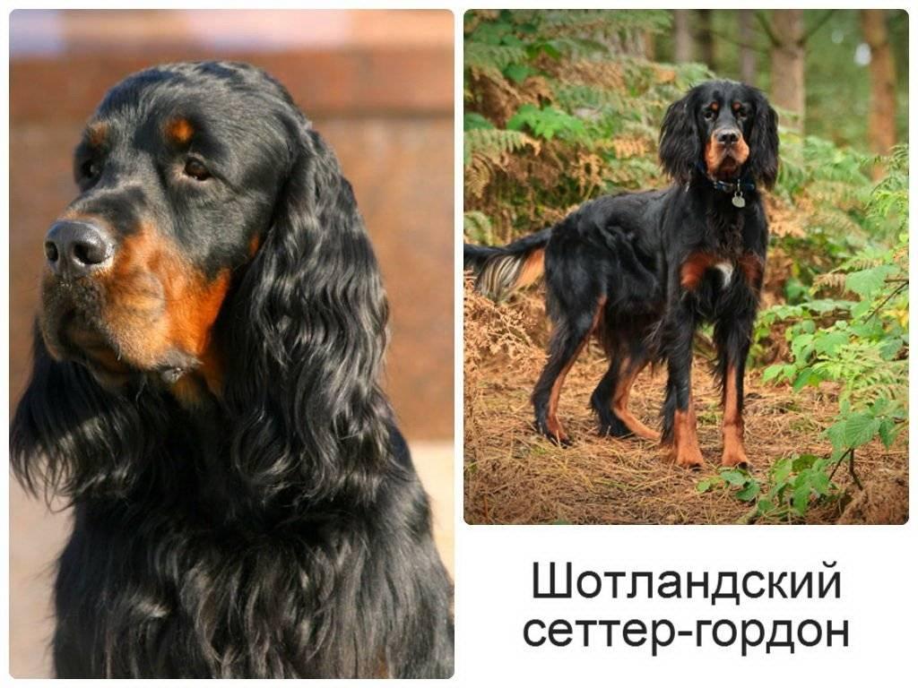 Описание и характеристики гончей породы собак шотландского сеттера (гордон)