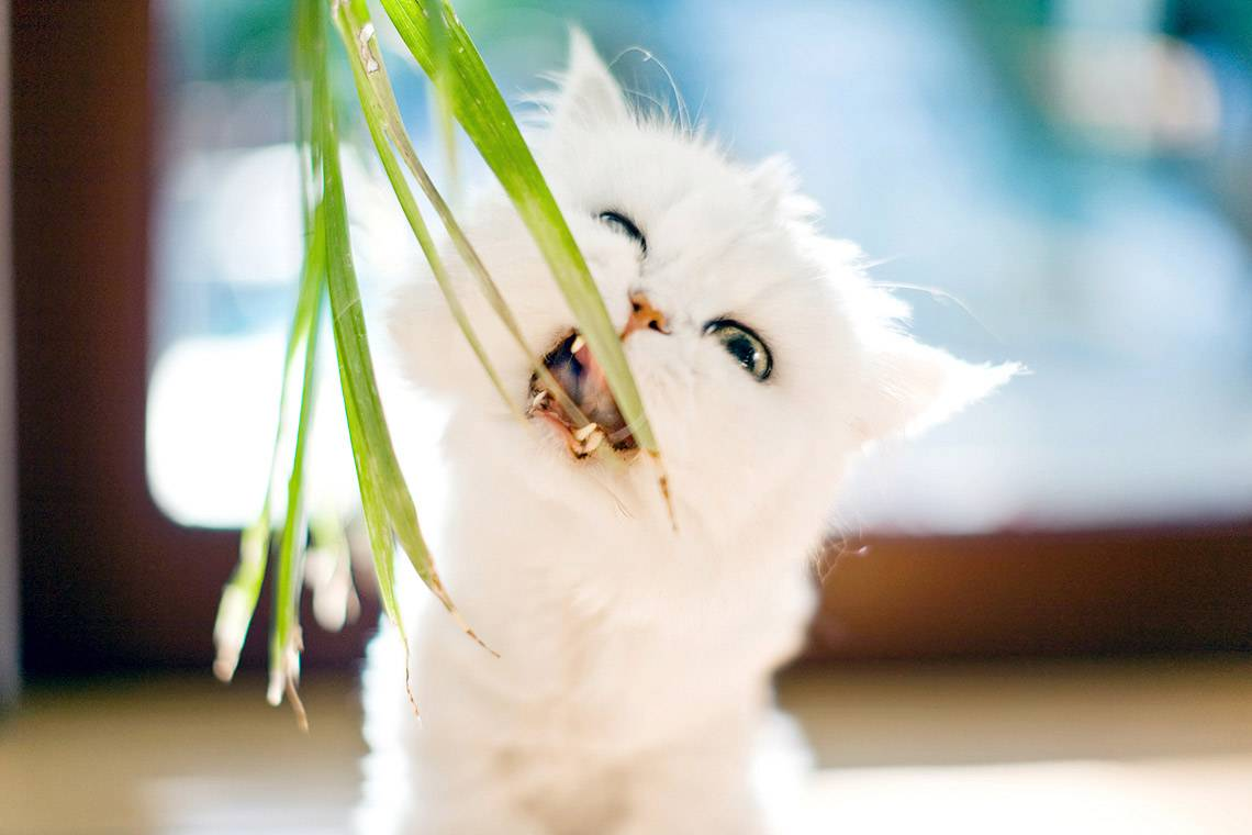Почему кошки едят траву? причины, фото и видео  - «как и почему»