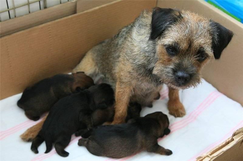 Когда щенки открывают глаза после рождения (на какой день)?