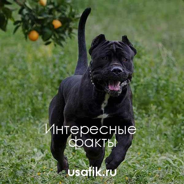 Порода собак американский бандог - описание, характер, характеристика, фото американских бандогов и видео, цена