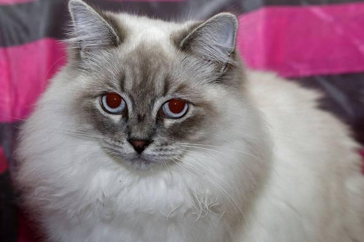Рагамаффин (31 фото): описание породы кошек, особенности характера котов. котята черного, белого и другого окраса