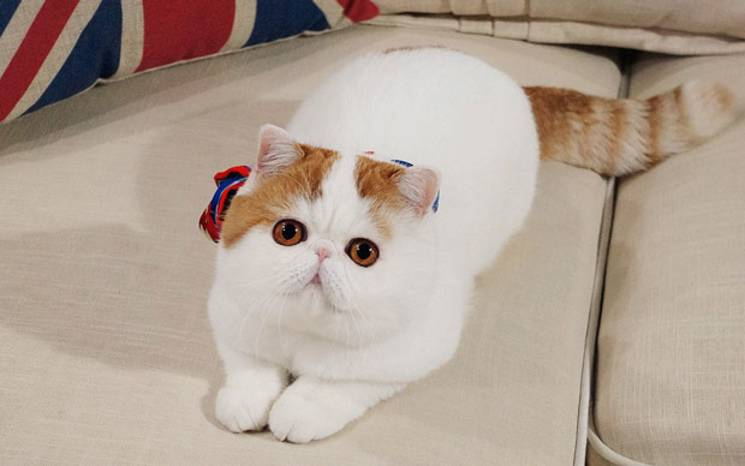 Порода кота снупи. цена. сколько стоит. где купить.