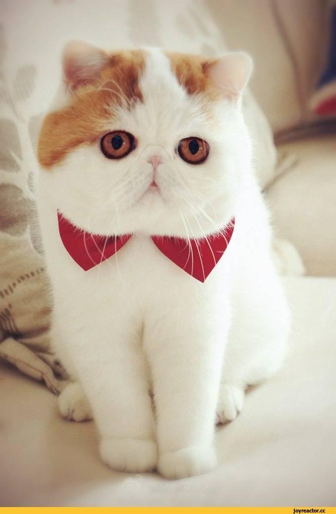 Кошки и коты с большими ушами: порода   фото, цена
